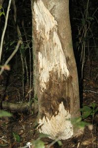 Aquilaria tree showing darker agarwood. Poachers had scraped off the bark to allow the tree to become infected by the ascomycetous mould.
